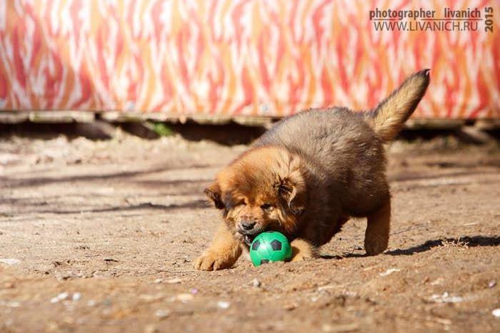 тибетик с мячом.jpg