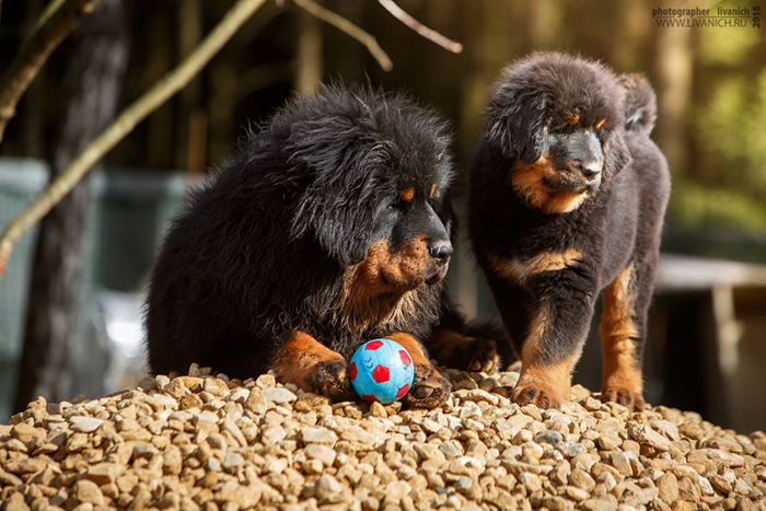 тибетики с мячом.jpg