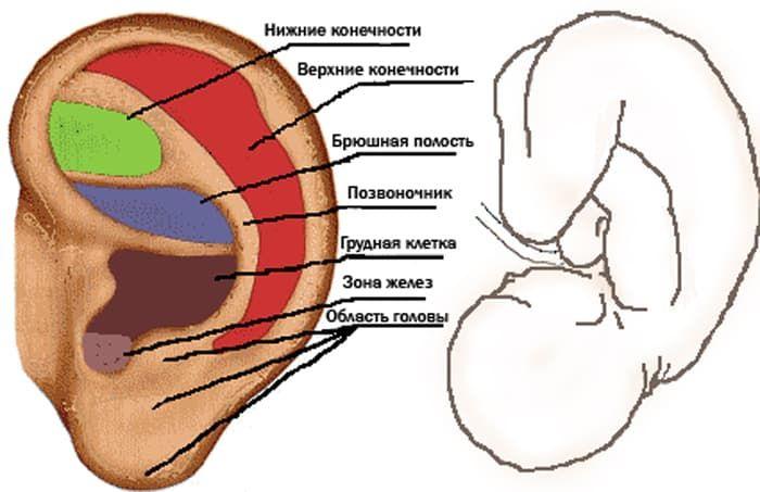 Зоны ушной раковины